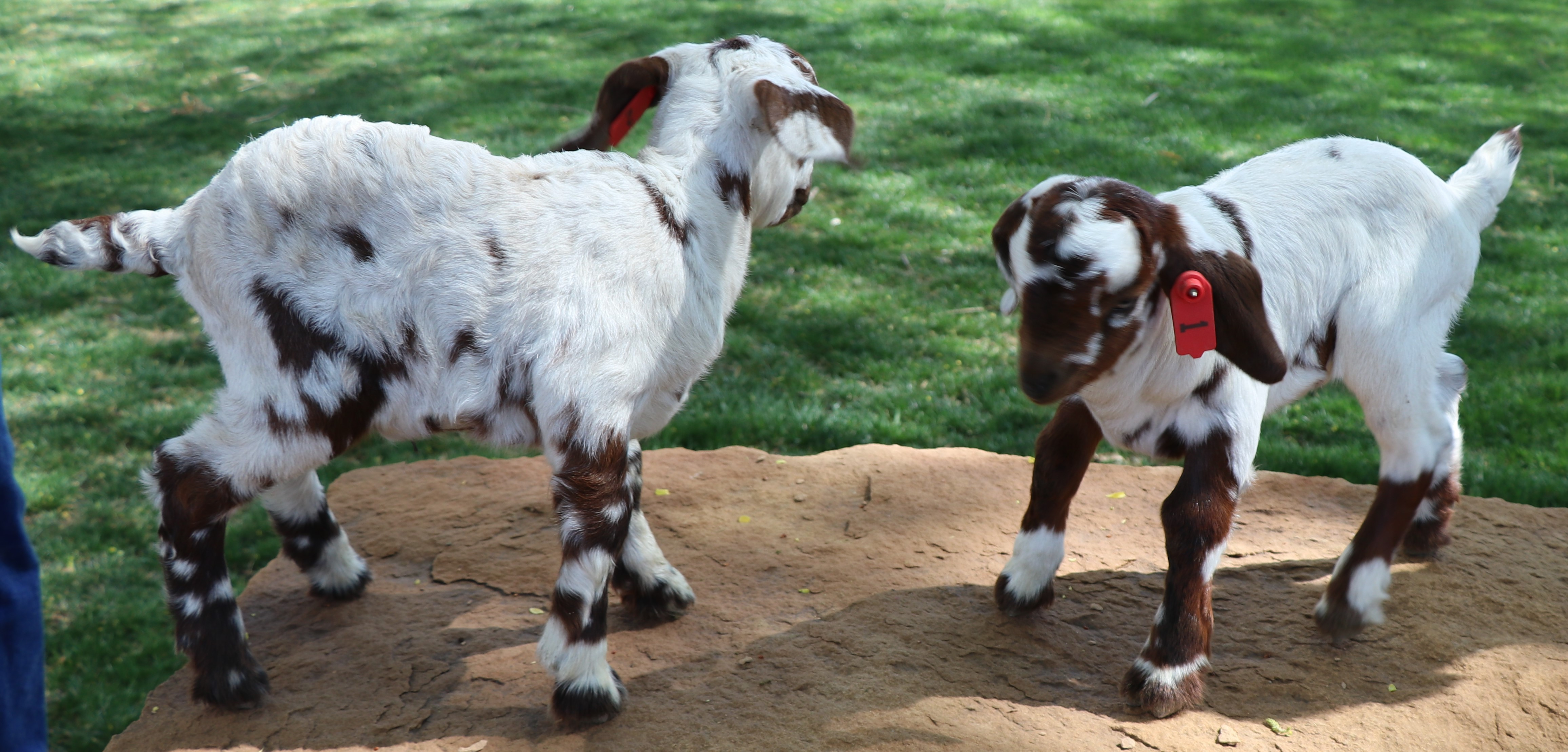 Spotted Boer Goats in CO